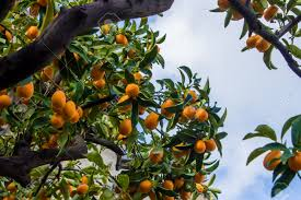 Bonsai Small Fruit Plants  Potted 20 Piece Small Orange Tree Small Orange Fruit On Tree