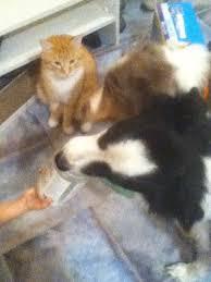 best pets love nutiva coconut oil too images meet kip ginger and tiger pets love nutiva coconutoil nutiva