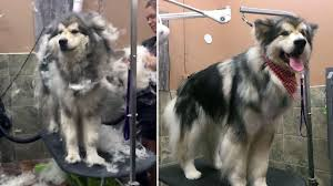 dog grooming supplies used on a malamute being deshedded