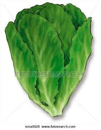lettuce clipart. Plain Lettuce Lettuce Clipart  Google Search Throughout Lettuce Clipart R