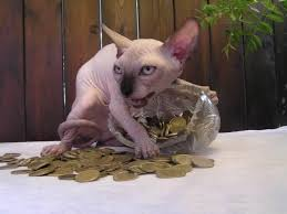 angry hairless cat. Brilliant Angry Hairless Cats Inside Angry Cat E