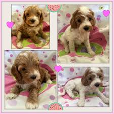 Small Picture Labradoodle Puppies Gorgeous Doodles Australian Labradoodle