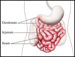 Image result for small intestine
