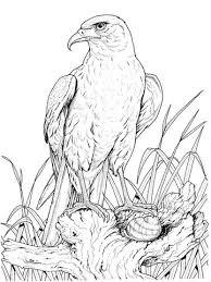 Zittende Goudarend Kleurplaat Tekenenporselein Dibujos De Pájaro