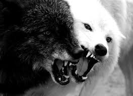 black wolf and white wolf love. Simple White File1 A White Wolf Black Wolfjpg In Black Wolf And Love N