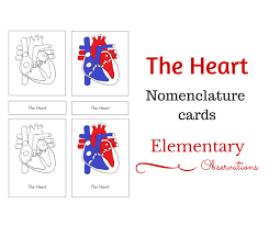 Small Picture Learning About the Human Heart with FREE Printables and Activities