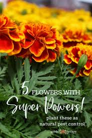 these powerful flowers deter pests naturally in the vegetable garden