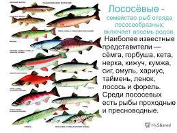Презентация на тему Лососевые рыбы Империя Домен Эукариоты  3 Наиболее известные представители