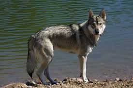 the tamaskan a dog breed developed to look like a wolf