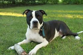black and white pitbull boxer puppies. Modren Black 2015082414403846581322797kanehpjpg And Black White Pitbull Boxer Puppies I