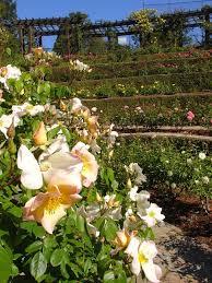 roses berkeley rose garden