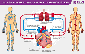 Flow Chart Of Nervous System In Human Beings Human Circulatory System Circulatory System Organs Diagram