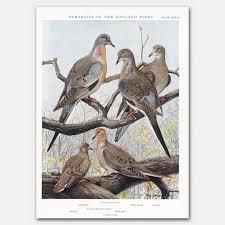 Mourning Dove Age Chart Bird Print Vintage Pigeon Art Vintage Dove Wall Decor