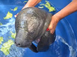 Resultado de imagem para peixe boi ameaçado de extinção