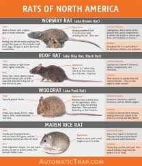 Rodents Lower Classifications Rats Types Of Rats In North America Automatic Trap Company