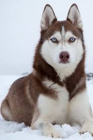 cute dogs and puppies husky.  Husky Siberean Husky Cute Fluffy Adorable Puppy Dog Pup Doggie Perfect Blue Eyes Throughout Cute Dogs And Puppies Husky U