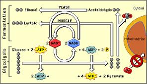 alcoholic fermentation equation. alcohol fermentation pathway yeasts alcoholic equation r