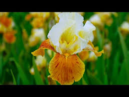 How to Plant Iris Germanica: Summer Garden Guide - YouTube