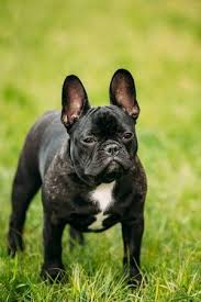 black french bulldog.  French Stock Photo  Young Black French Bulldog Puppy Dog With A White Spot On His  Chest In Green Grass Park Outdoor For C