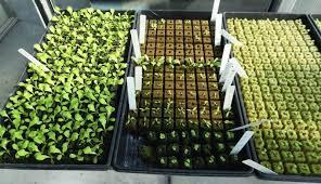 figure 3 lettuce seedlings