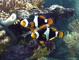 black and orange clown fish. Plain Clown Inside Black And Orange Clown Fish N