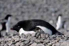 アデリーペンギンと巣32280000084の写真素材イラスト素材アマナ