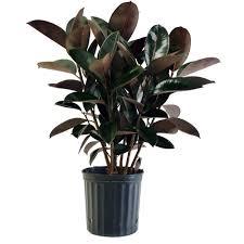 Delray Plants 8 3 4 In Burgundy Rubber Plant In Pot 10BURG The