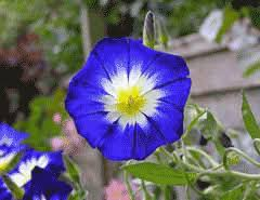 Convolvulus tricolor Dwarf Morning Glory, Bush Morning Glory PFAF ...