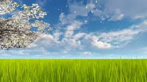 green grass field animated. Blooming Cherry Tree Branch And Flower Petals Falling On Fresh Green Grass In Slow Motion Against Field Animated