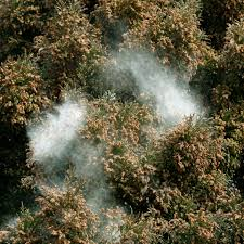 Austin Tx Allergy Chart Cedar Fever What To Know For Your Trip To Austin