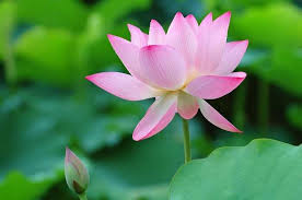 national flower of lotus an essay image credit flowers cheerclassics com national flower lotus essay in hindi