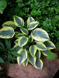 Small Picture designing with hostas CAROLYNS SHADE GARDENS