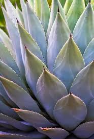 Pin by Alyssa Yarberry on Agave Carpet | Succulents, Plants, Trees to plant