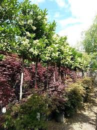 Small Picture Viburnum Tinus Eve Price Full Standard Trees for sale UK Gardens