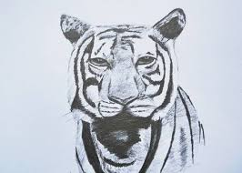 tiger face drawing pencil. Simple Face Stock Photo  Tiger Face Portrait Pencil Drawing On Paper Throughout Tiger Face Drawing Pencil L