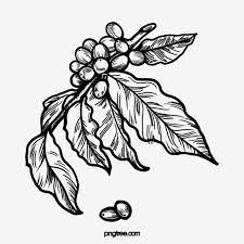 We currently have 28 coffee bean cutout png images. Black And White Line Drawing Coffee Bean Illustration Element Hand Painted Black And White Coffee Png Transparent Clipart Image And Psd File For Free Downloa Coffee Drawing Vietnam Art Design Line