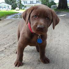 newborn chocolate lab puppies. Delighful Newborn For Newborn Chocolate Lab Puppies N