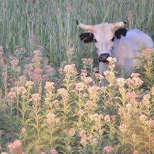 Pin by lillian griffith on Cattle | Cute cows, Fluffy cows, Cute animals