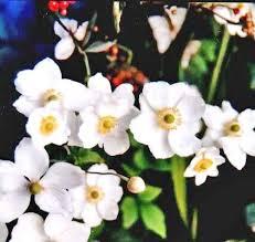 Anemone   The Flower Expert - Flowers Encyclopedia