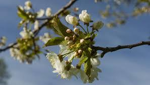 Nickajack North Carolina 1853  3995  Trees Of Antiquity Fruit Trees That Grow In Nc