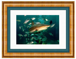 caribbean reef shark photo art framed