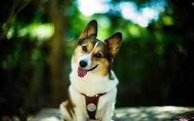 Dog Smile Wallpaper Ipad - 1680x1050 ...
