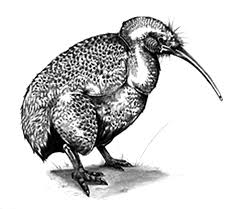 Realistic Picture Of Kiwi Bird Coloring Pages Download Print