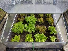 cold frame gardening. Interesting Gardening Cold Frame With Lettuce With Gardening E