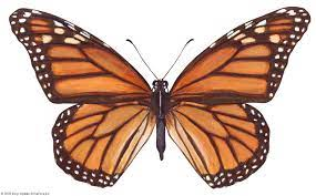 monarch butterfly   Life Cycle, Caterpillar, Migration, & Facts