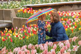 14k tulips are about to blossom at the denver botanic gardens
