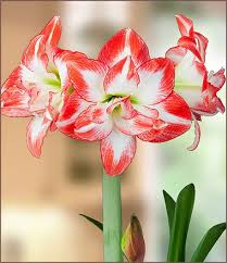 Image result for amaryllis