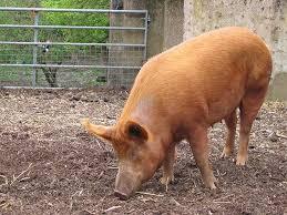 Granja Porcina En Confinamiento  EngormixPrecio Granja De Cerdos Engorde