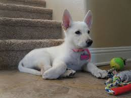 white german shepherd husky mix puppy. Perfect Husky Luna Our White German Shepherd Puppy Throughout Husky Mix Puppy N