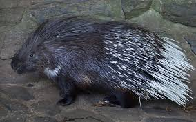 Rodents Lower Classifications Mammals Classification Of Mammals Characteristic Of